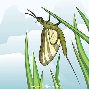 Green Drake Mayfly vector