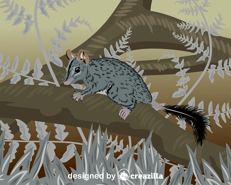 Brush-tailed Phascogale vector