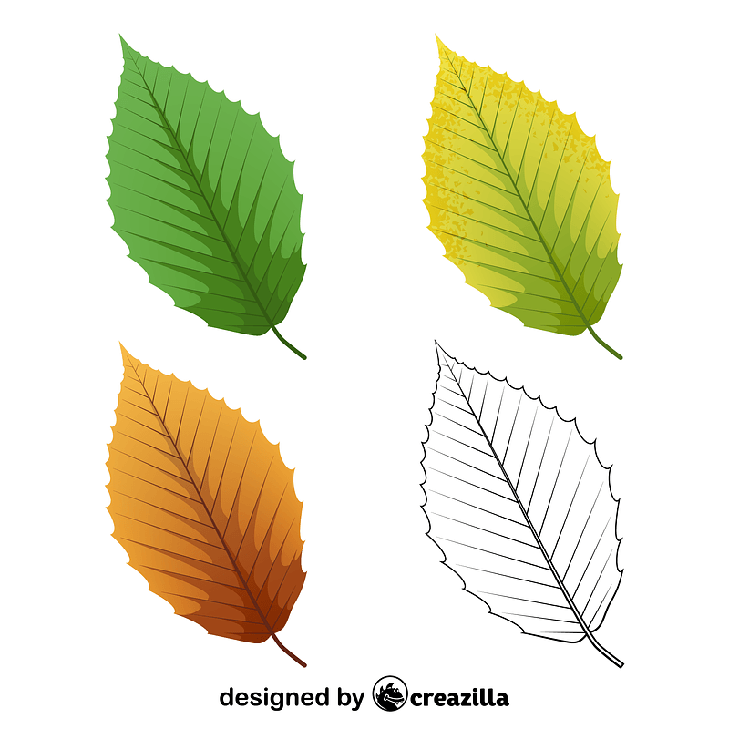 American beech leaves vector