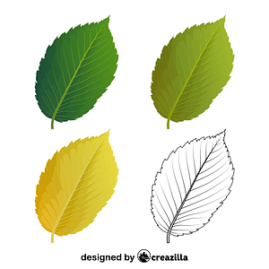 American elm leaves vector