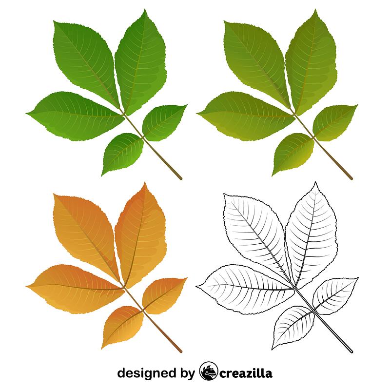 Shagbark hickory tree leaves vector