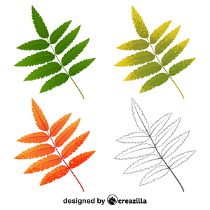 Rowan tree leaf vector
