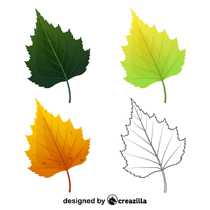 Silver birch tree leaves vector