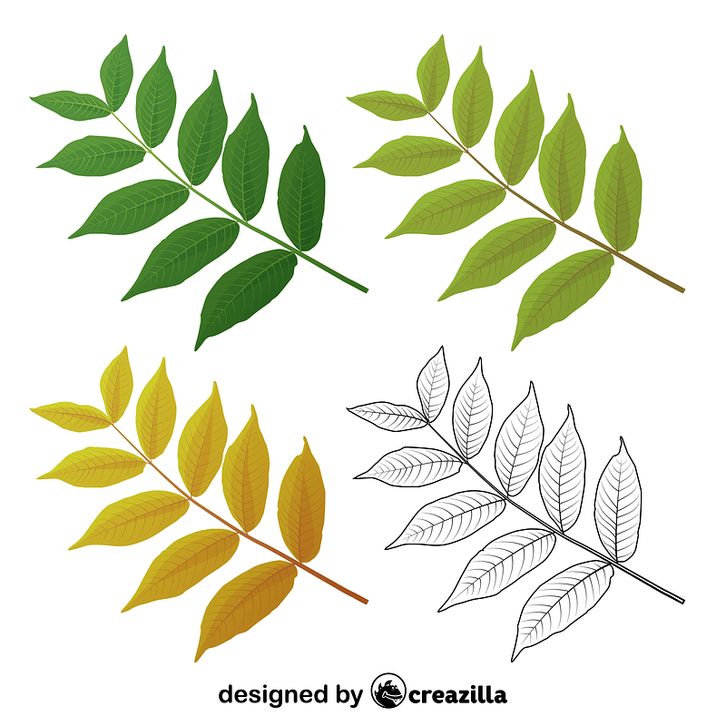 Black walnut leaves vector