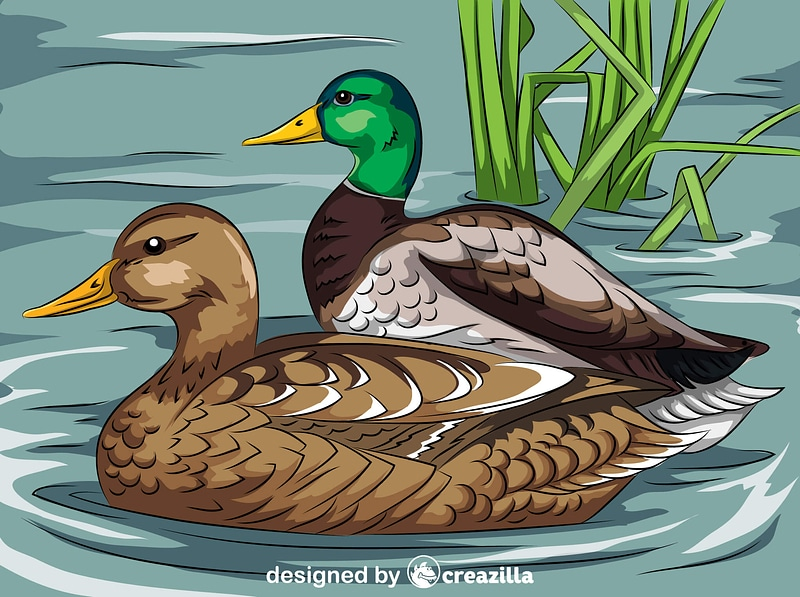 Mallard Ducks Swimming vector