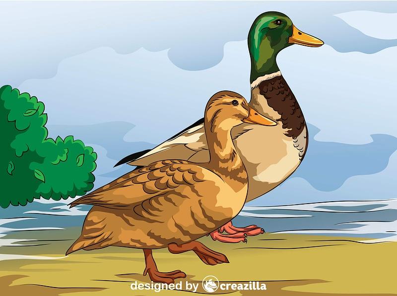Male and Female Mallard Ducks vector