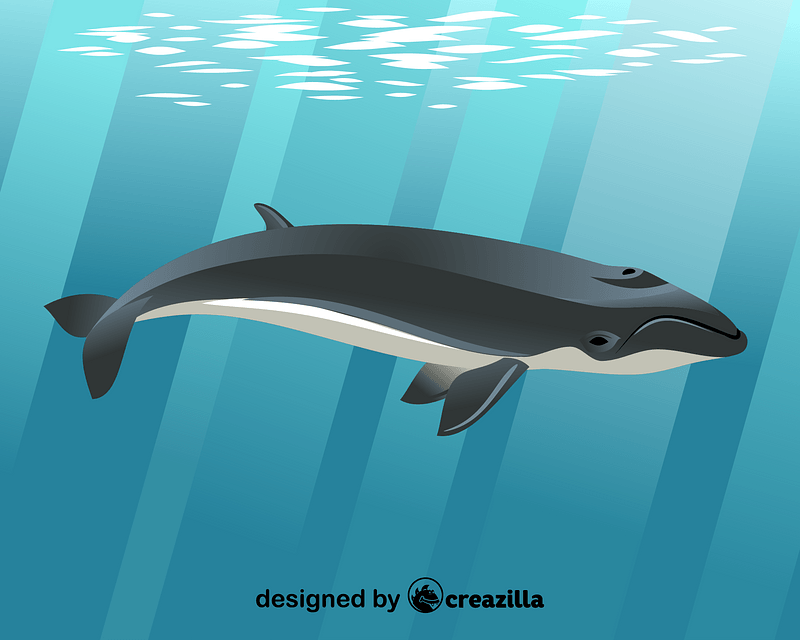 Pygmy right whale vector