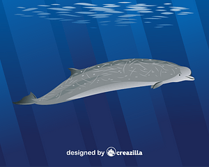 Southern bottlenose whale vector