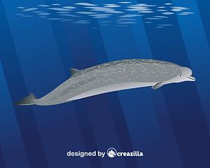 Векторное изображение: Southern bottlenose whale