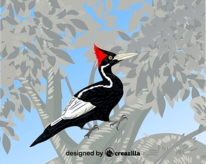 Ivory-billed woodpecker vector